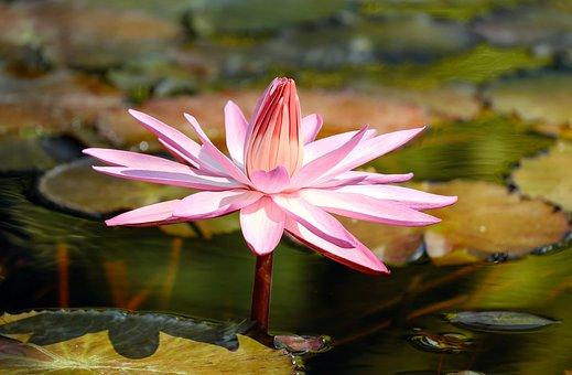 Water Lily, Flower, Aquatic Plant, Pond Plant, Blossom