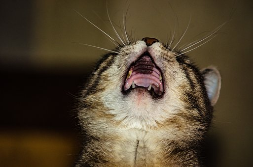 Cat, Domestic Cat, Pets, Fangs, Kitten, Charming
