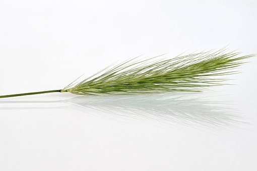 Kłos, Corn, Grass, False, Dashing, Single