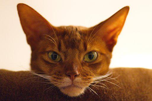 Cat, Abyssinian, Cat's Eyes, Breed Cat, Domestic Cat