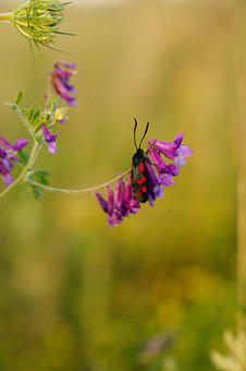 Burnet, Blood, Butterfly, Insect, Flight Insect, Red