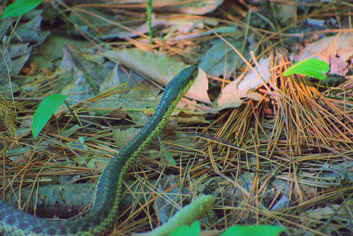 Snake, Forest, Wildlife, Reptile, Nature, Wild, Yellow