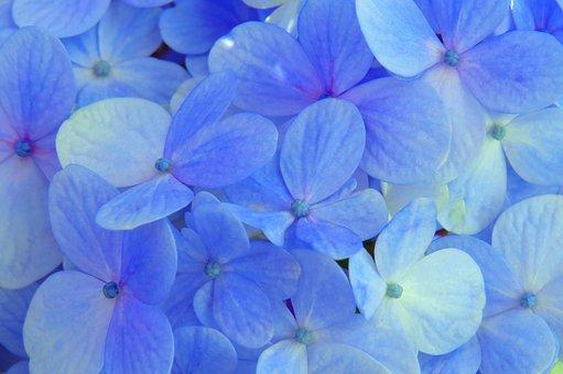 Hydrangea, Blue, Flower, Flowers, Plant, Garden