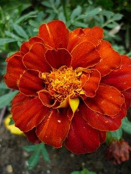 Marigold, Culture, Blossom, Bloom, Red Orange
