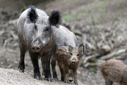 Boar, Family, Bache, Nature, Head Drawing, Mammal