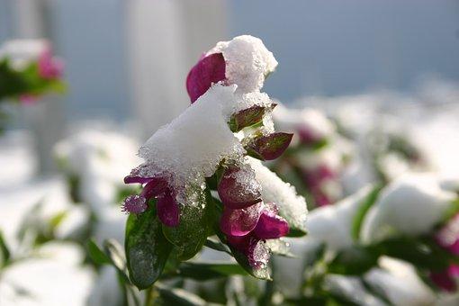 Fiore, Inverno, Neve