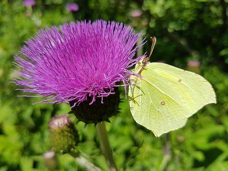 Pieridae, Weislinge, Gonepteryx Rhamni, Butterfly