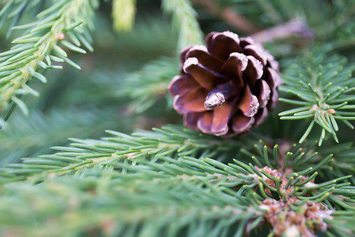 Pine Cone, Christmas Tree, Nature, Forest, Cones