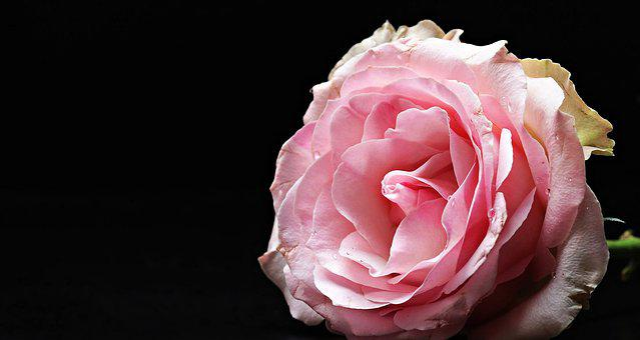 Rose, Floribunda, Pink, Pink Rose, Flower, Flora