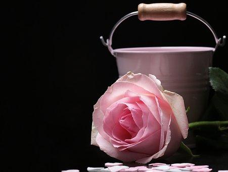 Rose, Floribunda, Bucket, Pink, Pink Rose, Pink Bucket