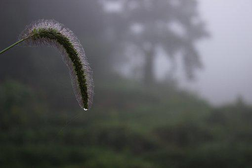 Plant, The Dog's Tail Grass, Water Drops, Fog