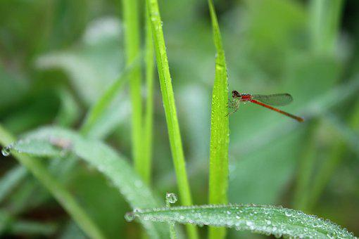 Dragonfly, Red, Green, Plant, Early In The Morning