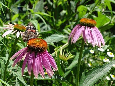 Echinacea Purpurea, Sun Hat, Echinacea