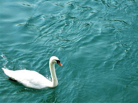 Swan, Switzerland, Water, Lake, Swiss, Rural, Sky