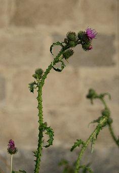 Thistle, Plant, Nature, Flora, Macro, Wild Plant, Weed