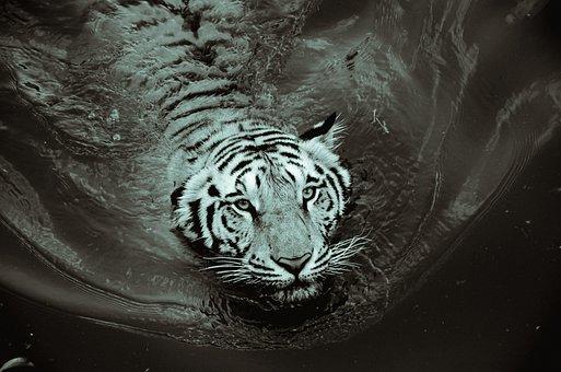 Tiger, Black And White, Black, White, Animal, Wild
