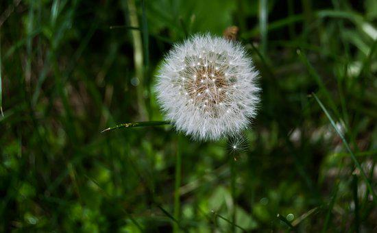 Dandelion, Nature, Flower, Plant, Wild Flower, Close
