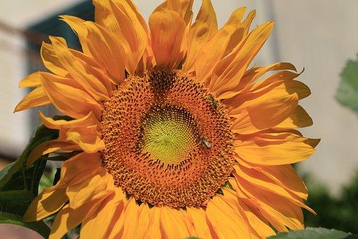 Sunflower, Canon, 100mm, Macro