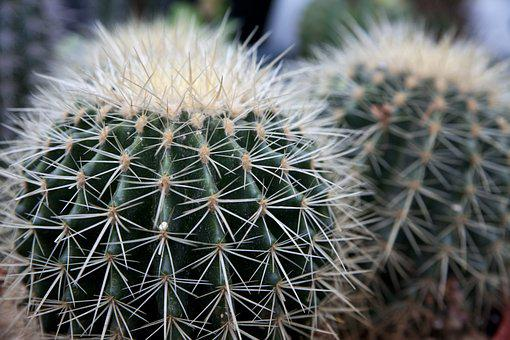 Cactus, Nature, Plants, A Flower Garden, Flower