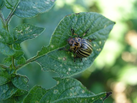 Insect, Potato, Colorado, Beetle, Bug, Agriculture