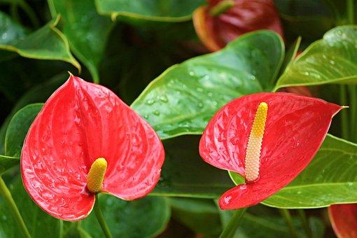 Anthurium Flamingo Flower, Anthurium, Araceae, Blossom