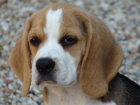Beagle, Dog, Domestic Animal, Look