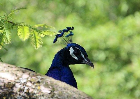 Peacock, Head, Bill