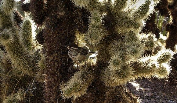 Cactus Wren, Bird, Yucca, Plant, Desert, Wren, Prickly