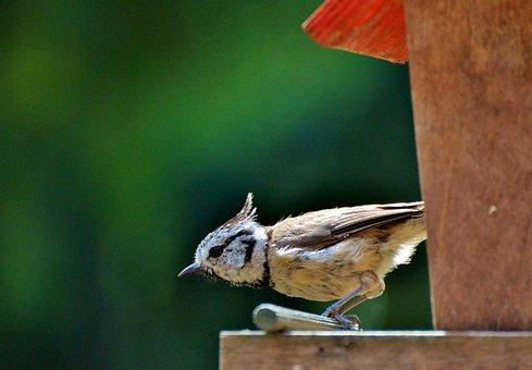 Crested Tit, Tit, Bird, Animal, Foraging, Feed Box