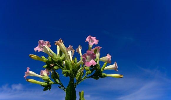 Tobacco, Plant, Blossom, Bloom, Cigarettes, Nicotine