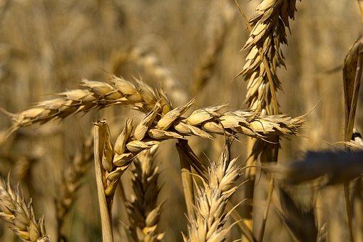 Spike, Wheat, Grain, Cereals, Wheat Field, Cornfield
