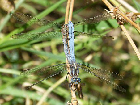 Blue Dragonfly, Couple, Mating, Orthetrum Coerulescens
