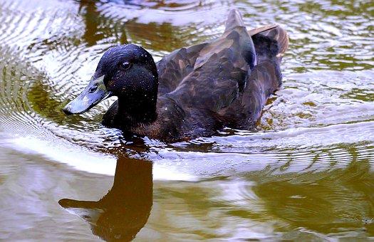 Duck, Water, Animal, Water Bird, Waters, Nature