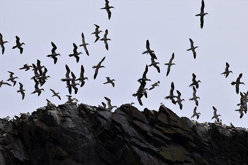 Flight, Soaring, Gannets, Seabird, Colony, Bird, Forth