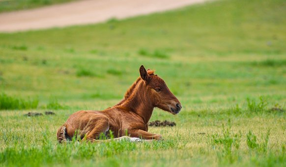 Foal, Horse, Animal, Equine, Nature, Equestrian, Mammal