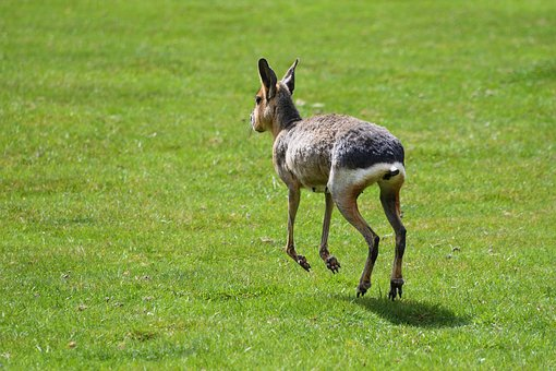 Mara, Hare Of Patagonia, Run, Grass