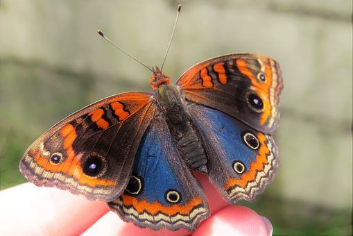 Butterfly, Blue, Orange, Insect, Nature, Wings, Fingers