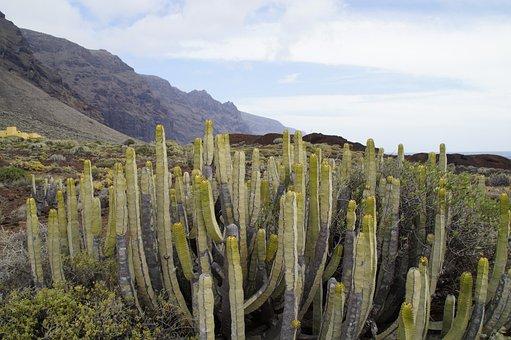 Cactus, Succulents, Spurge, Tenerife, Landscape, Flora