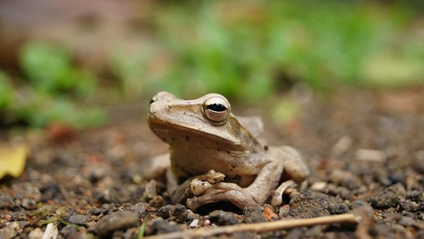 Frog, Close Up, Nature, Amphibian, Wildlife, Animal