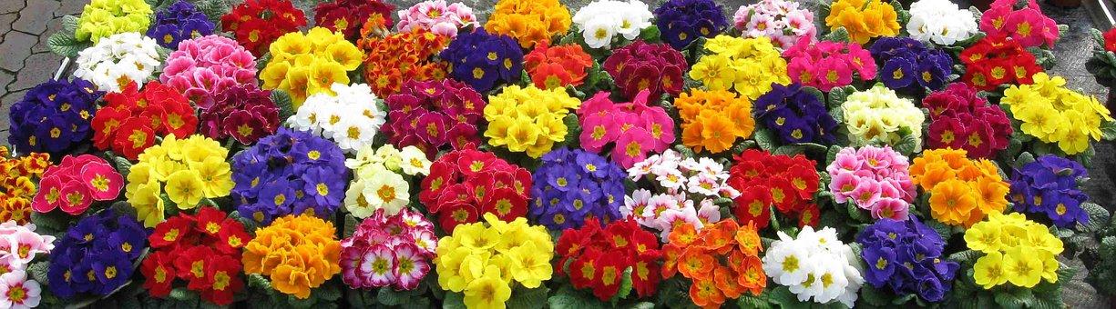 Primroses, Colorful, Nature, Bloom, Plant