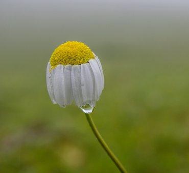 Daisy, Flower, Green, Highland, Nature, Water Drop