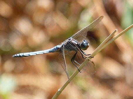 Blue Dragonfly, Leaf, Wetland, Orthetrum Coerulescens