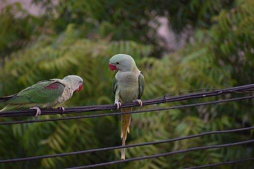 Parakeets, Parrots, Pair, One Scolding, Talking Birds