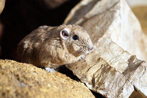 Gundi Saharan, Rodent, Vivarium, Rare, Strunatec