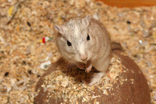 Hamster, Mouse, White, Beige, Pet, Sweet, Cage, Begging