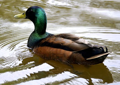 Mallard, Water, Duck, Water Bird, Swim, Nature, Animal