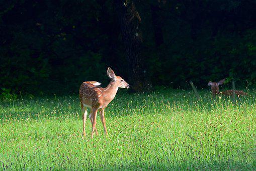 Fawn, Looking, Grass, Summer, Wildlife, Animal, Young