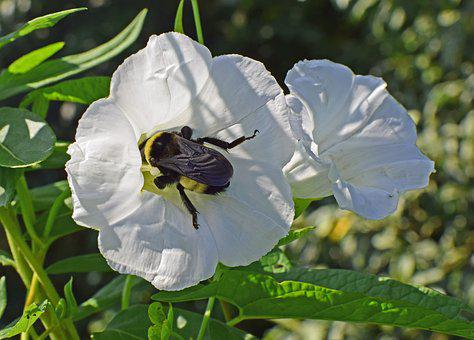 Bumblebee In Morning Glory, Insect, Pollinator, Animal