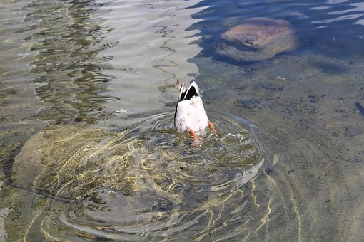 Duck, Diving, Bird, Animal World, Nature, Water