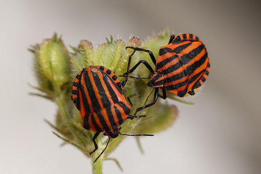 Animals, Bugs, Striped, Red Black, Strip Bug
